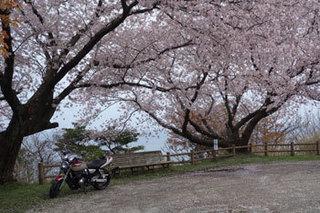 20150413桜.jpg