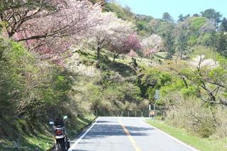 20170423山桜.jpg